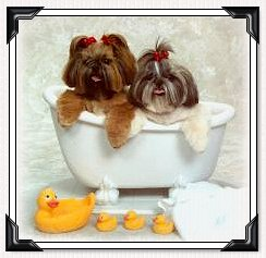 Shih Tzu Puppies- in Bath Tub