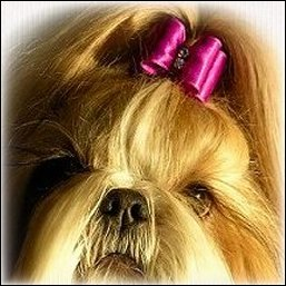 Image: Clear gold shih tzu is modeling a BOB Purple show dog bow