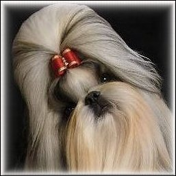 Image:Gold shih tzu modeling cranberry red show dog bow