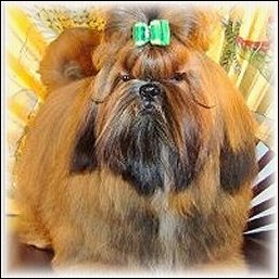 Image: Red shih tzu modeling emerald green show dog bow