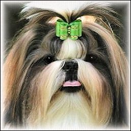 Image: Bridnle shih tzu is modeling a lime green show dog bow