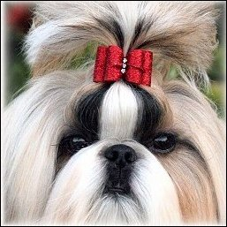 Gold Shih Tzu modeling a red glitter dog bow
