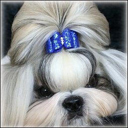 Image: Silver shih tzu is modeling a bright blue glitter dog bow