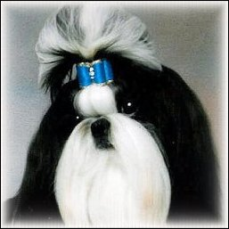 Image: Black and White shih tzu modeling a bright turquoise show dog bow