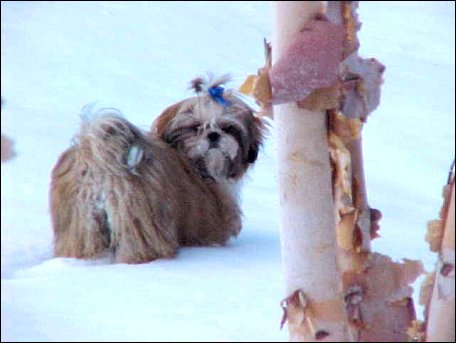 Shih Tzu-Sugar Bear with royal blue dog bow in the snow