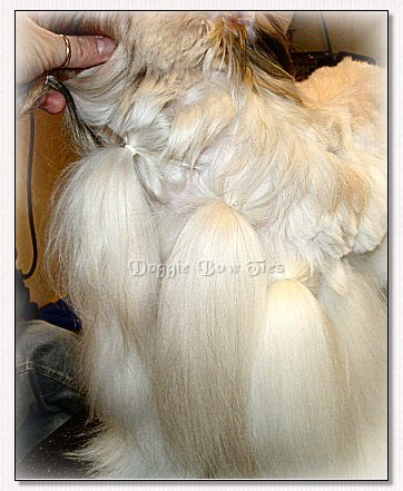 Image: ShihTzu upper chest and body undercoat is banded for cutting.