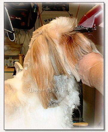Image: Starting at the back of the muzzle, the shave begins.