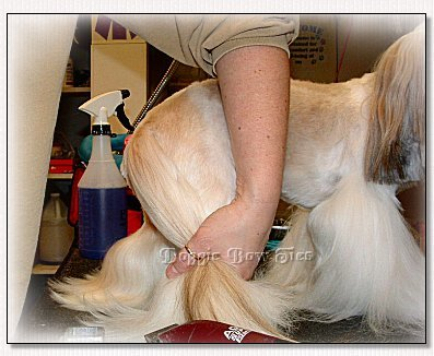 Image:Gathering all of the hair on the leg and the tail in one hand, you will have control of the area to be shaved.