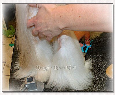 Image: Comb the leg hair down and trim the feet level with the table.
