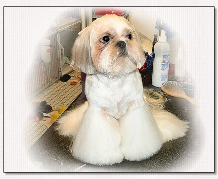 Image: Finished from full coated shih tzu to cut down hair cut.
