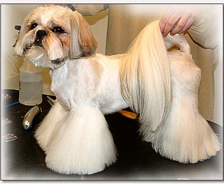 Shih  Hair Styles on Ears Cutting The Ear Fringe With Rounded Scissors They Will Be Short