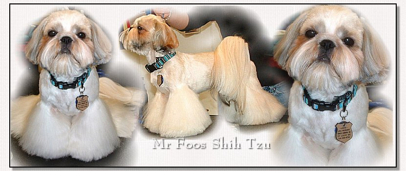 "Image: Mr Foo's Shih Tzu ""Jack"" in his new hairdo, thanks you for stopping by to see him get his haircut!"