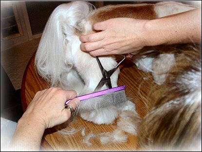Image: Shih Tzu Cut Down