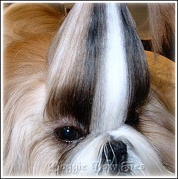 How To Make A Simple Casual Shih Tzu Topknot By Doggie Bow Ties